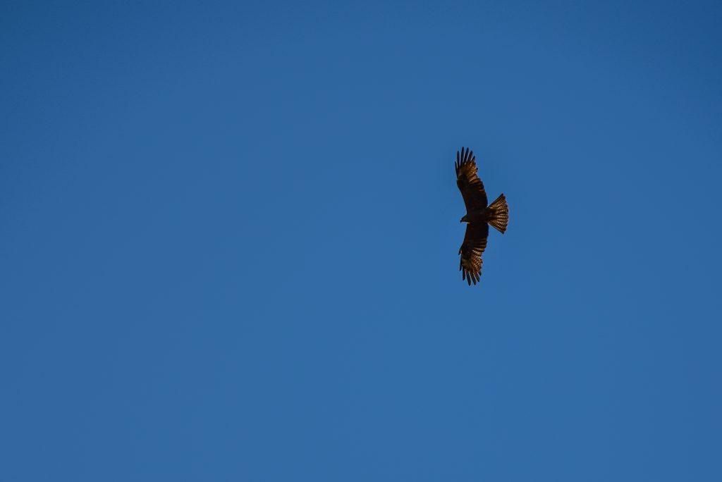 Rewilding Eagle